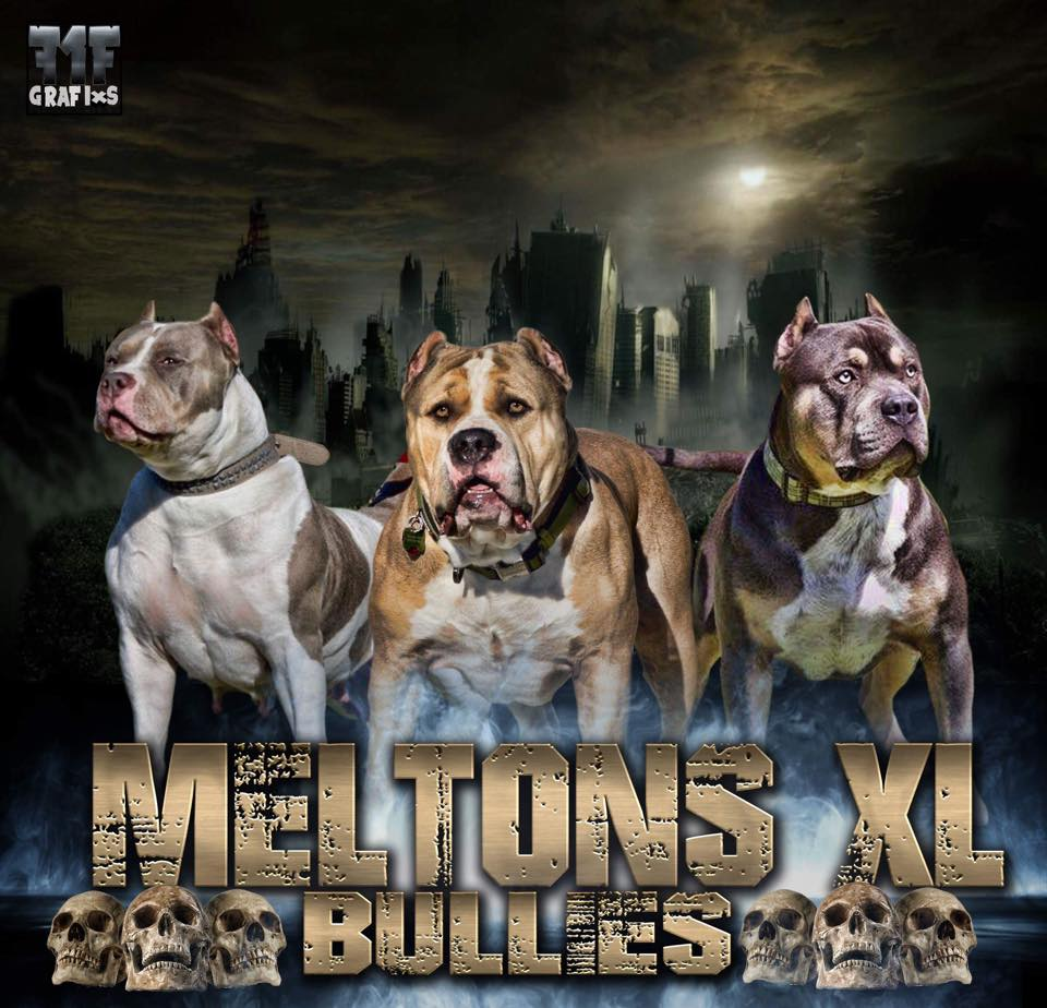#meltonxlbullies
